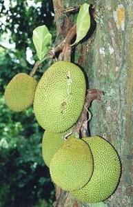 nangka-buah-ilustrasi